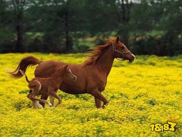 小鸡宝宝考考你,马蹄其实是马的脚指甲还是脚丫子